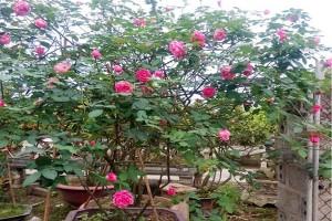 Thú chơi gốc hoa hồng cổ của đại gia Việt lên đến hàng trăm triệu đồng