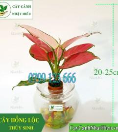 Cây hồng lộc thủy sinh để bàn đẹp giá rẻ tại Hà Nội