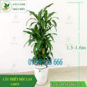Cay-thiet-moc-lan-phat-tai-1